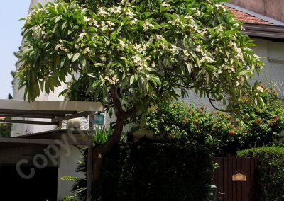 עץ פלומריה בוגר בכפר-סבא