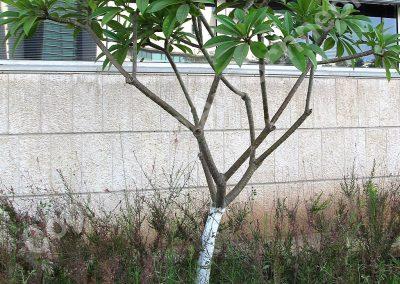 עץ פלומריה צעיר בשפלה