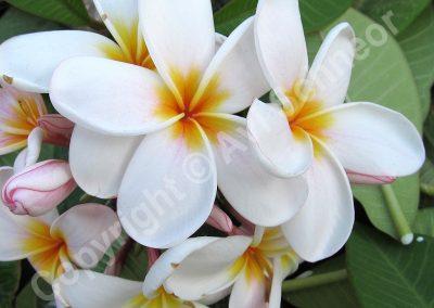 פרחי פלומריה - לבן-צהוב