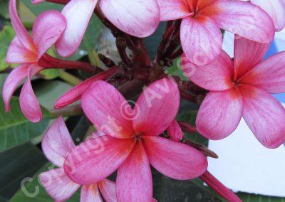 פרחי פלומריה - ורוד-לבן
