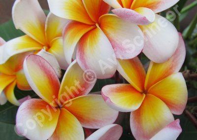 פרחי פלומריה - לבן-צהוב-אדום