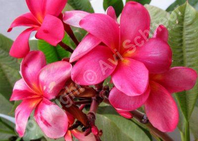 פרחי פלומריה - אדום-צהוב
