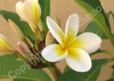 פרחי פלומריה -לבן-צהוב