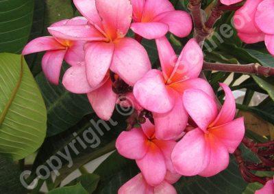 פרחי פלומריה-אדום-ורוד