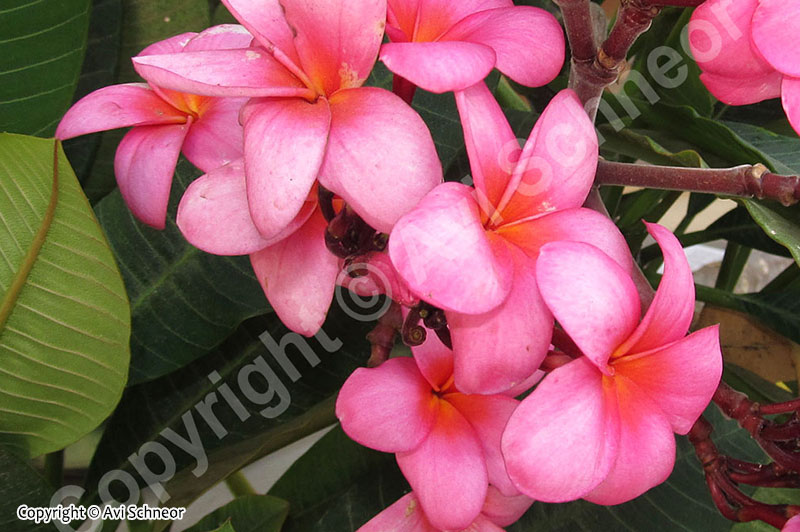 Avi Plumeria growing featured -HB