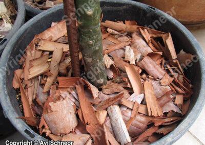 חיפוי עציץ בשבבי קליפת אקליפטוס