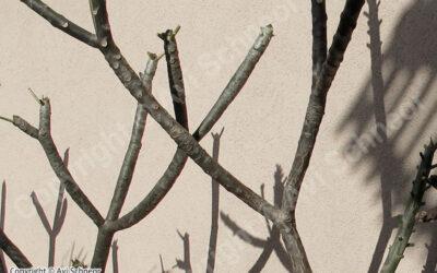 גידול פלומריה – החורף מגיע