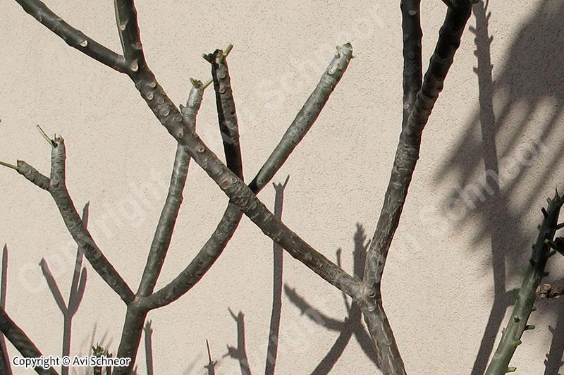 פלומריות בחורף - תמונת נושא