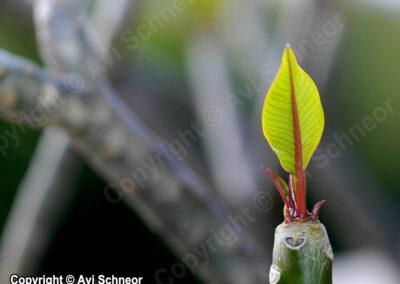 פלומריה מלבלבת עם עלה חדש בתחילת האביב