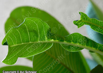 Curly Plumeria leaves infected by Aphids