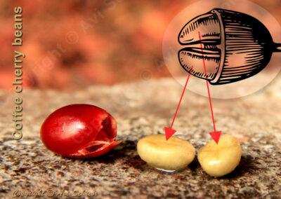 איור ומראה שני פולי קפה שחולצו מדובדבן Two coffee beans extracted from a cherry