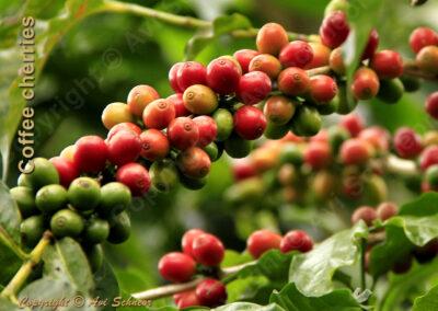מראה דובדבני קפה על העץ Coffee tree cherries