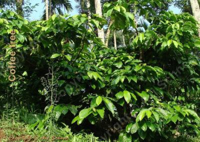 מראה עץ הקפה במטע View of Coffee tree in plantation