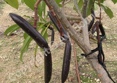 תרמילי פלומריה על העץ