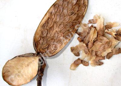 תרמיל פלומריה פתוח עם זרעים